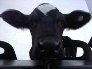 CUDS calf snug in a hutch