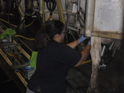 Milking some cows