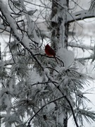 Wisconsin Cardinal