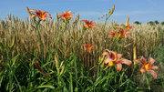 Photobombing Lilies