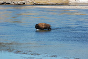 bison crossing the Yellowstone R.