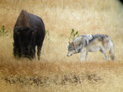wolf testing bison's fitness, Yellowstone NP