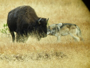 wolf readying for the kill, Yellowstone NP