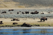 bison herd across the Yellowstone R.