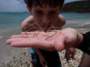 Puerto Rico arrow crab