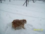 Valódi Tél 2010 Jan 30 Kleó élvezi a friss havat