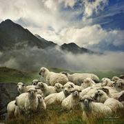 A bárányok hallgatása