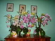 orhideaim