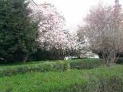 Nagyváradi Püspöki Palota kertje-Magnólia virágzáza