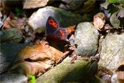 kis pillango