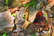 kis pillango2