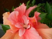 Japán rózsám :)
