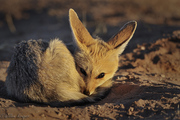 Cape fox sleeping 1