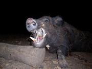 Nice boar