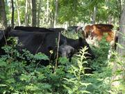 cow browsing locust coppice