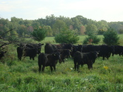 black angus in pasture adjacent to hedgerow