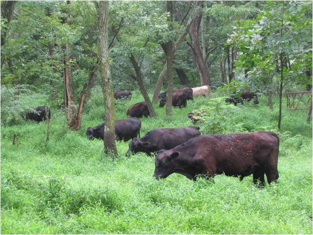 cattle in hopkins woods