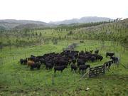 cattle in corral - Estancia Rincon Grande, Argentina