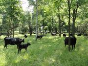 herd in silvopasture june 2012