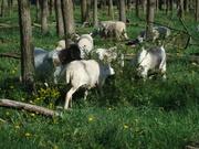 goats and sheep enjoy multiflora rose