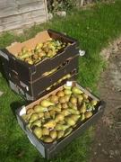 Harvesting in Willesden