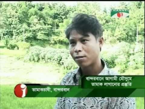 Tobacco cultivation in hills of Bangladesh-2