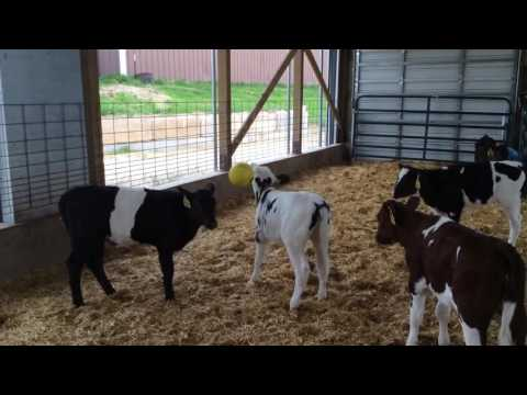 Calves playing tether ball