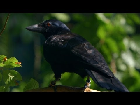 Are crows the ultimate problem solvers? - Inside the Animal Mind: Episode 2 - BBC Two
