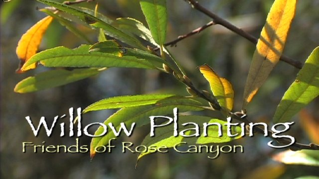 Rose Canyon Willow Planting