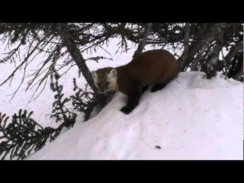 Newfoundland Pine Marten