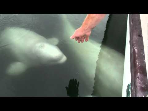 Beluga whales being friendly