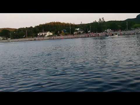 Cod fish breaching on caplin in Holyrood Newfoundland Canada.