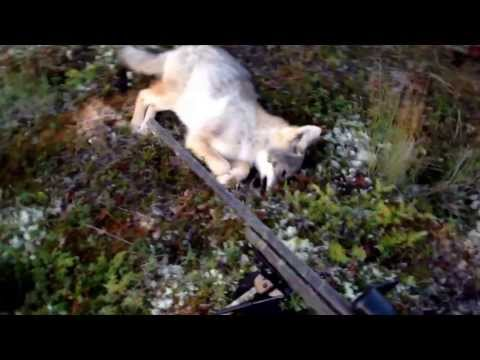 first coyote hunt this season