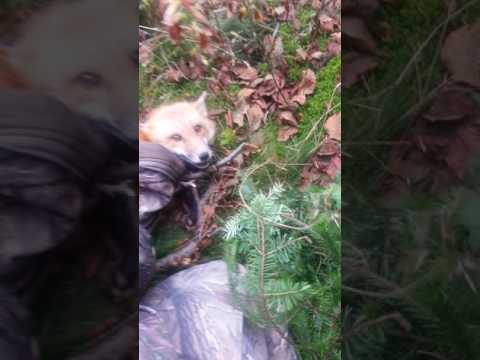 Red Fox released from illegal snare