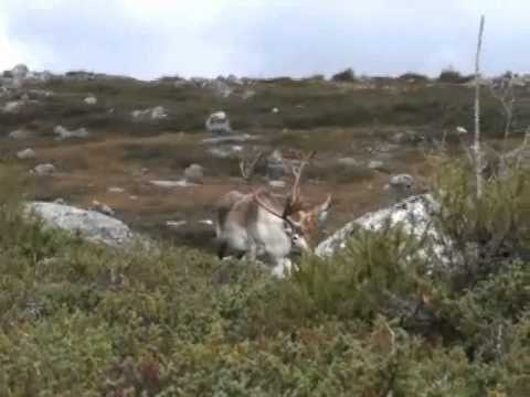 Awesome Newfoundland Caribou Hunt.....The Hurricane bull