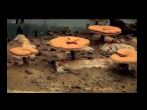 Что за гриб Ганодерма