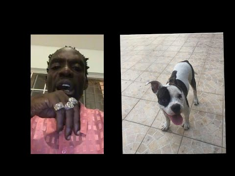 Ninja Man American Bulldog Got Stolen By Thieves ? $50,000 Reward If Found