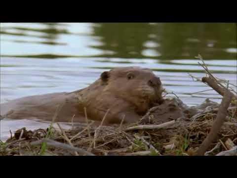 Wisdom ~ Nibwaakaawin ~ Beaver