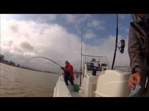 catfish fishing in the Ebro delta. meerval vissen in de Ebro-delta