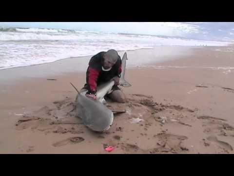 EL SEÑOR DE LOS TIBURONES: tiburón bronce