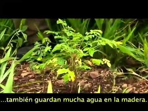 """Documental sobre Moringa """" Arbol de la Vida """""""