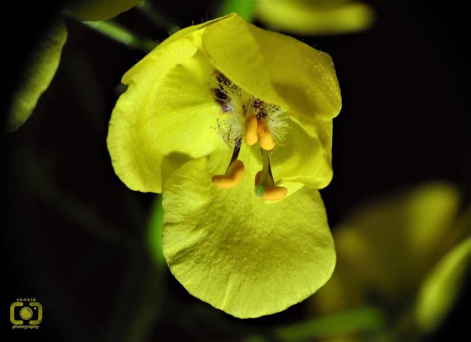 Κίτρινη οπτασία