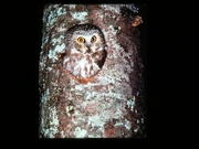 In Search of Owls - Presentation & Night Hike