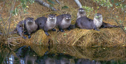 Ralph Nuzum Lecture Series:  Wisconsin's Weasel Family