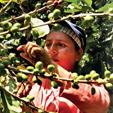 Imágenes y aromas del café Peruano