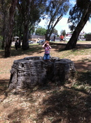 river redgum stump, Port Of Echuca