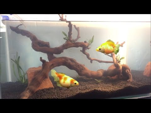 SCAPING THE NEW GOLDFISH TANK!