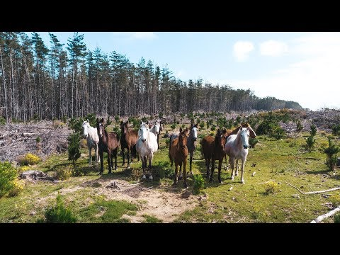 Wild Horses in New Zealand | DJI MAVIC AIR