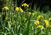 Yellow Flag Iris at its peak, May 21st '19