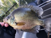 Nice Fliers and Gills......5/25/2019